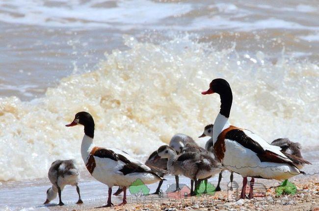 Фото peganok патици на плажа
