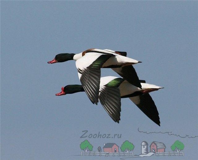 Снимки летящи peganok