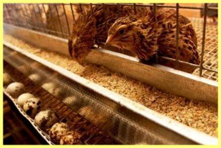 Ako nakŕmiť prepelica doma
