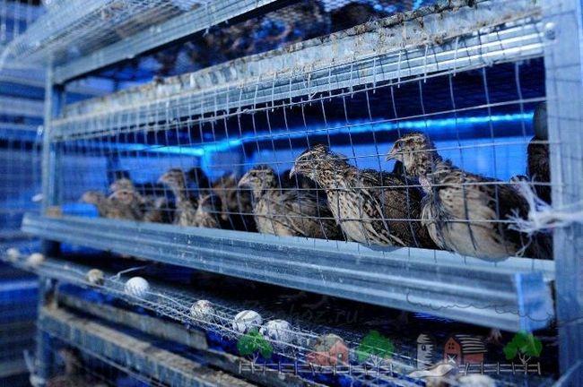 Prepelița în cuști