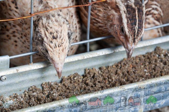 Prepelița hranei pentru animale mănâncă pasăre