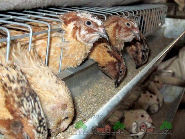 Prepelița mânca din alimentatoare hranei pentru animale