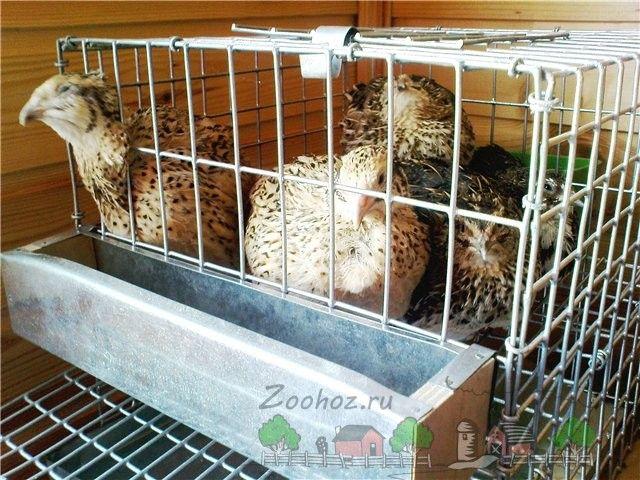 Păsări într-o plasă cușcă