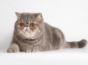 Персийска котка порода