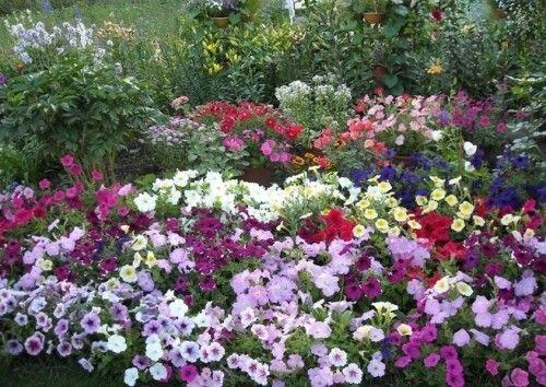 Petunia sadnju i Foto briga za reprodukciju koraka