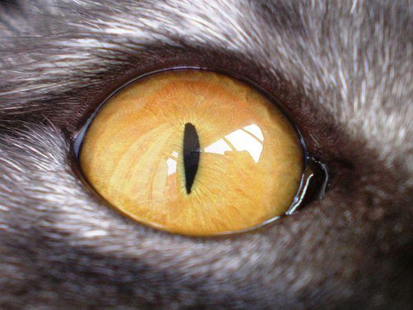 Očné mačka domáca