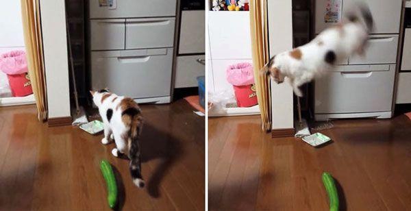 Prečo mačky majú strach z uhoriek