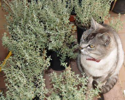 Prečo mačky, ako je kozlík & amp;