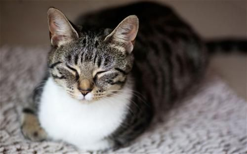 Prečo mačky priasť?