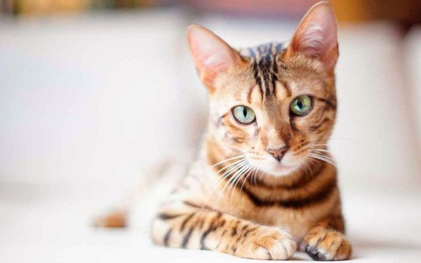 Prečo mačky reagujú na Kitty Kitty