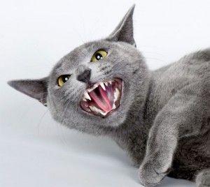 Prečo mačky syčanie