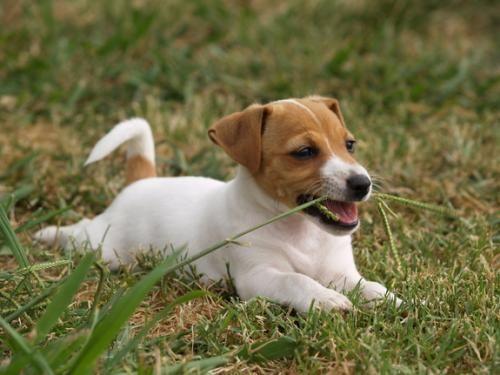 Prečo pes žerú trávu?