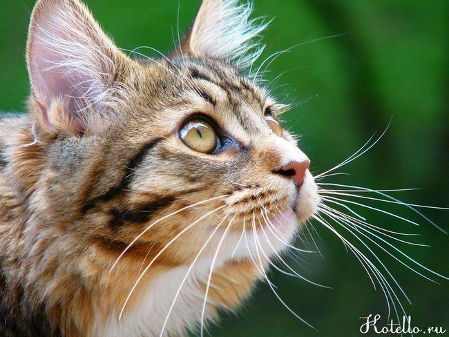 Fúzy mačka - jedná sa o druhé oko