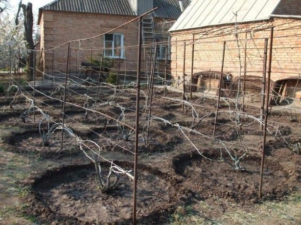 Hnojenie hrozna - načasovanie a spôsob aplikácie