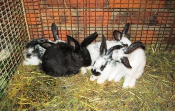 Koristan aditiv za zečeve - mliječne kiseline