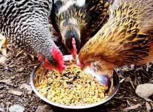 Condiții de utilizare a furajelor pentru găini ouătoare și rețeta lui ...