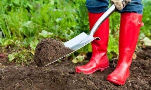 Gardener rozptyľuje hnojivo lopatu