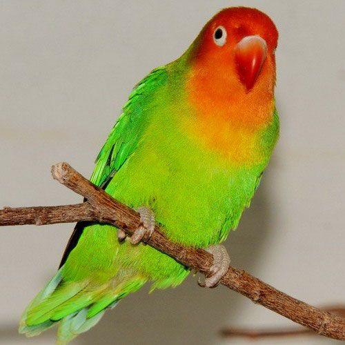 Parrot Lovebird - vzhľad