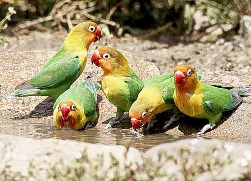 Papagáje Lovebird vypiť vodu