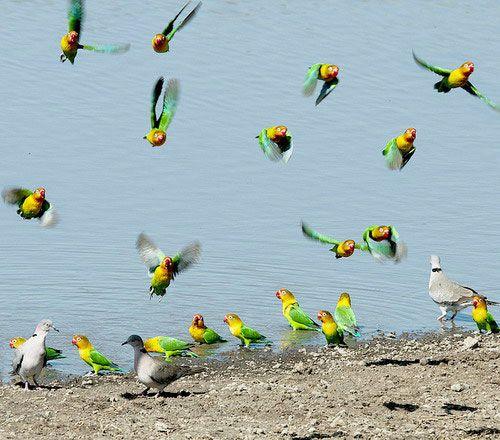 Kŕdeľ papagájov hrdličky na vodu