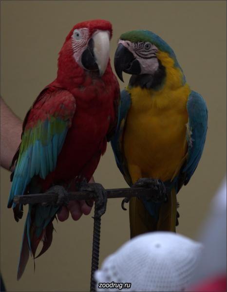 Foto 1 Papagáje hrdličky