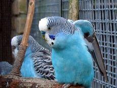 Papagalii ondulații normale