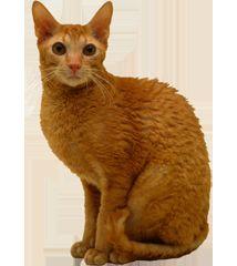 Корниш Рекс котка порода