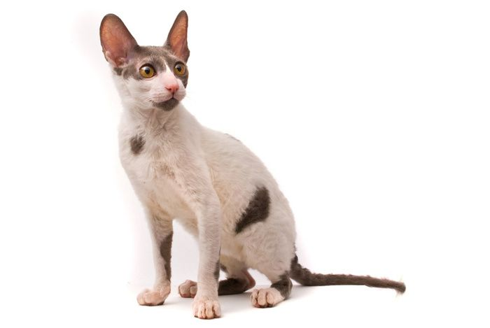 Mačka plemena Cornish Rex