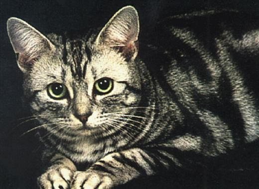 Shorthair american pisica rasa fotografie