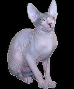 Cat порода Sphynx