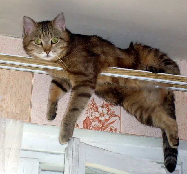 Shorthair european pisica rasa fotografie