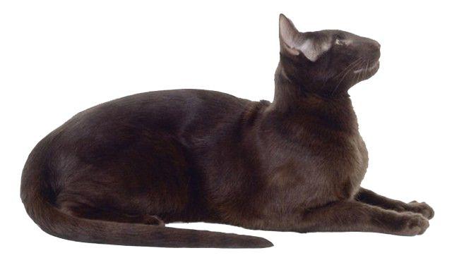 pisica Havana