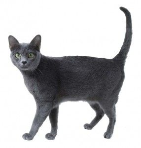Plemeno Korat mačky