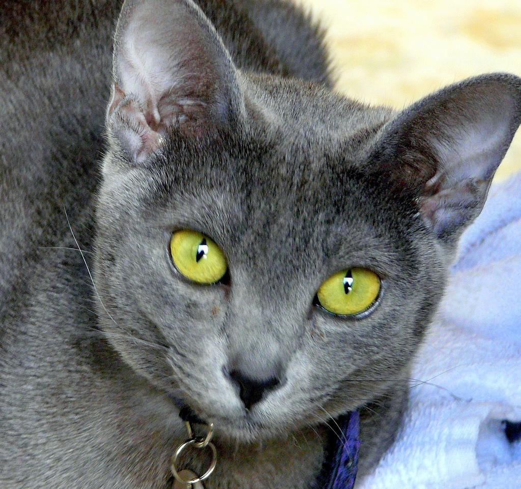 Korat mačka plemena