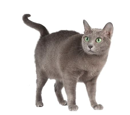Korat mačky plemeno