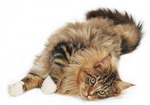 Cat порода Мейн Куун