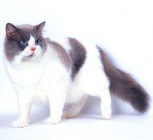 Парцалан котка порода котки