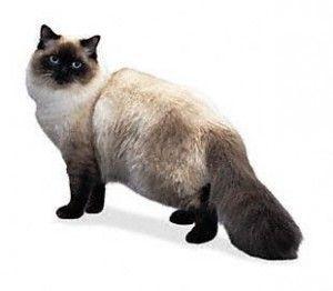Порода Ragdoll котки