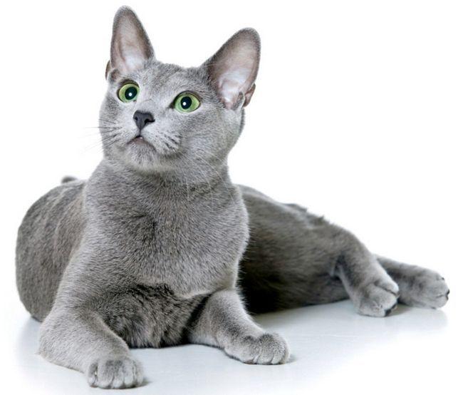 Руска синя котка порода