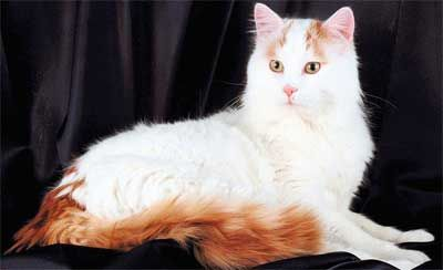 Turc Van pisica rasa