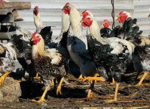 Rock izbor folk - upoznat sa Yurlov Crower piletinom