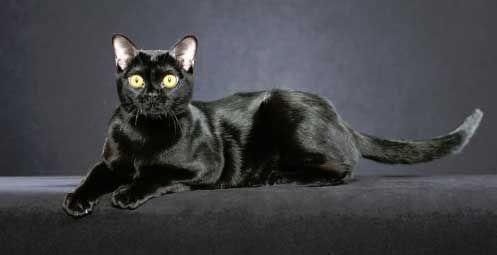 Bombay pisica rasa