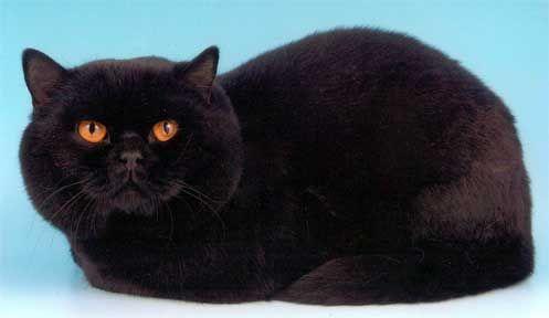 Pisica British negru