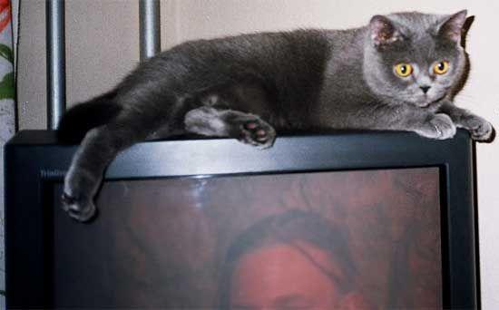 British Shorthair rasa pisica