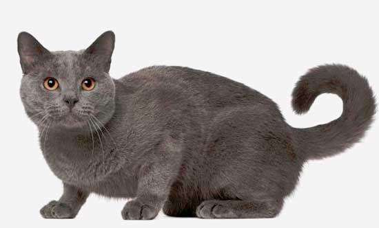 Chartreux pisica rasa