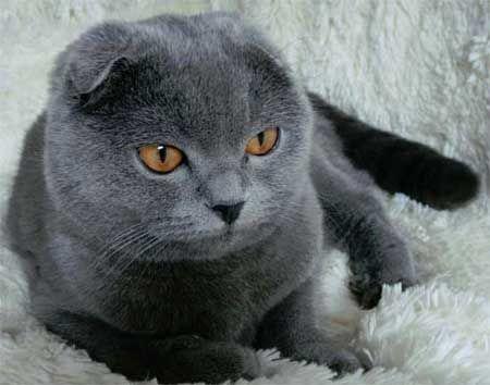 Scottish Fold rasa pisica