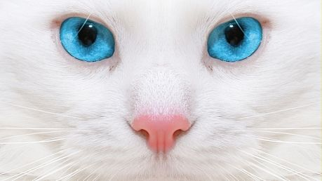 Rasa de pisici cu ochi albastri