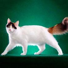 Van din Turcia (pisici Van din Turcia)