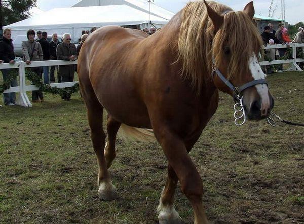 Belgický tyazheloupryazhnaya kôň na mieste