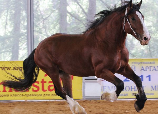plemeno kôň Vladimir Heavy Predloha